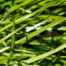 Forage tall fescue