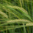 Spring barley